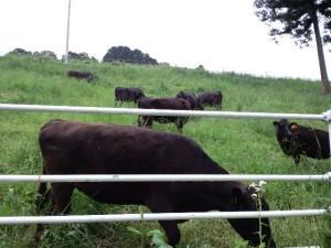 牛です!生牛です!動いてます!